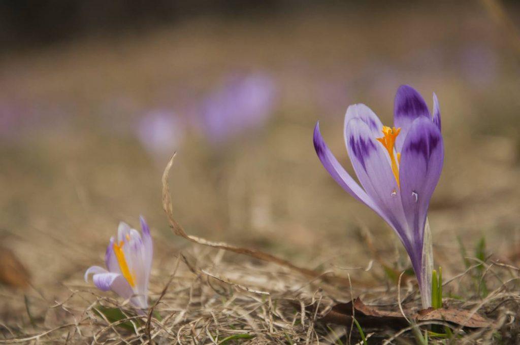 Krokusy w Zakopanem - jak, gdzie i kiedy je zobaczyć?