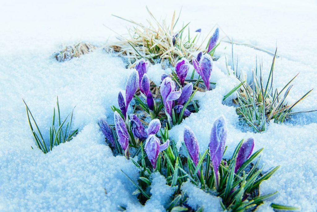 Krokusy w Zakopanem zwiastują nadejście wiosny w Tatrach