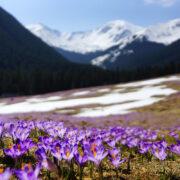 8 miejsc na Podhalu pełnych wiosennych krokusów
